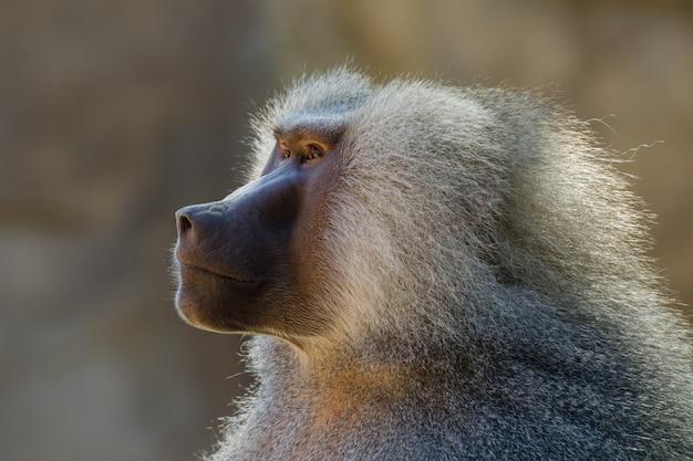Retrato de babuíno de hamadryas