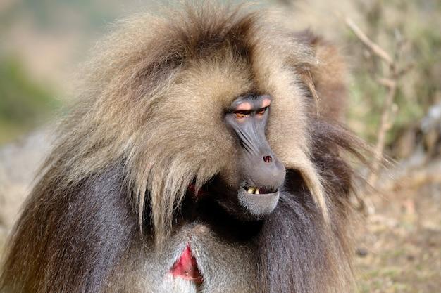 Retrato de babuíno gelada, etiópia simien mountains