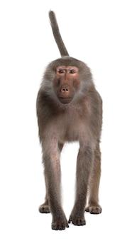 Retrato de babuíno, simia hamadryas, de pé em um branco isolado