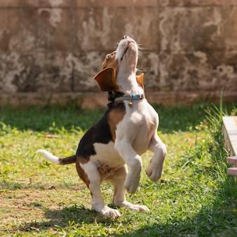 Retrato de beagle filhote de cachorro bonito em pé no gramado