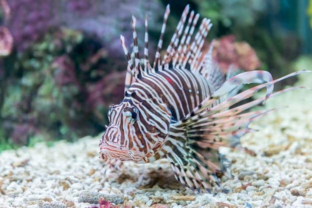 Retrato de belo peixe-leão vermelho (milhas de pterois)
