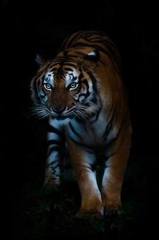 Retrato, de, bengal, tigre, em, floresta