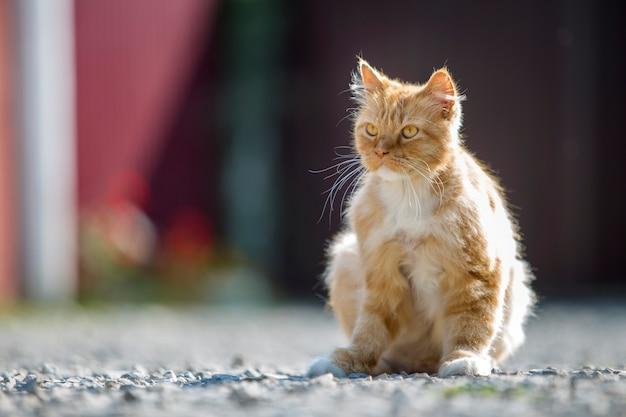 Retrato de bonito adorável gengibre laranja grande gato com olhos amarelos dourados, sentado ao ar livre em pequenos seixos posando