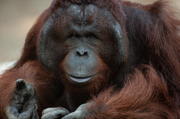 Retrato, de, bonito, macho adulto, orangotango, (pongo, abelii)