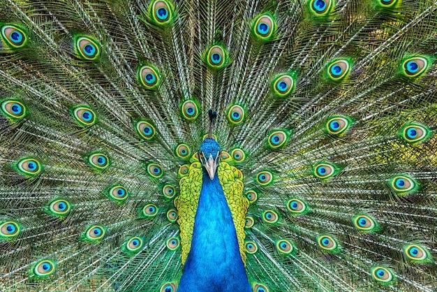 Retrato, de, bonito, pavão, com, coloridos, penas, saída