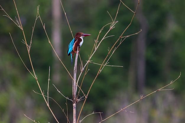 Retrato, de, bonito, white-throated, kingfisher