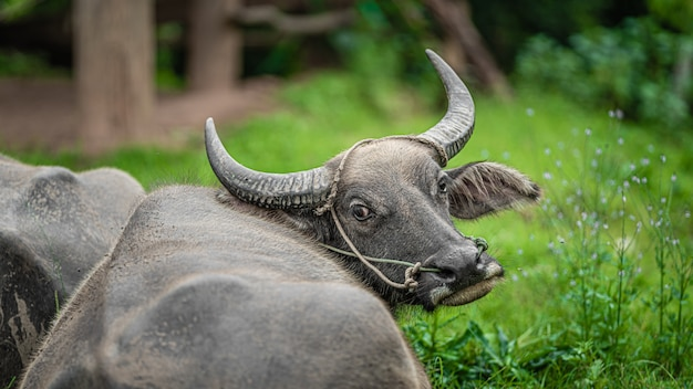 Retrato de búfalo pastando no pasto