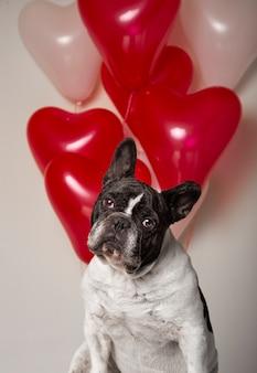 Retrato de bulldog francês com fundo de balões em forma de coração colorido.