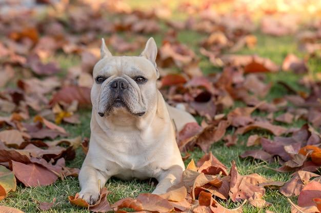 Retrato de bulldog francês deitado em folhas coloridas de outono no parque.