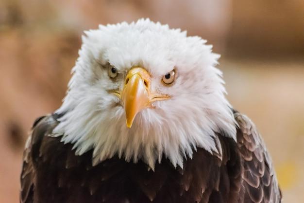 Retrato de cabeça de águia careca