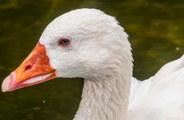 Retrato de cabeça de ganso (anser anser domesticus)