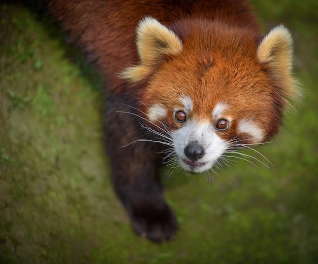 Retrato de cabeça de panda vermelho olhando para cima com expressão de surpresa