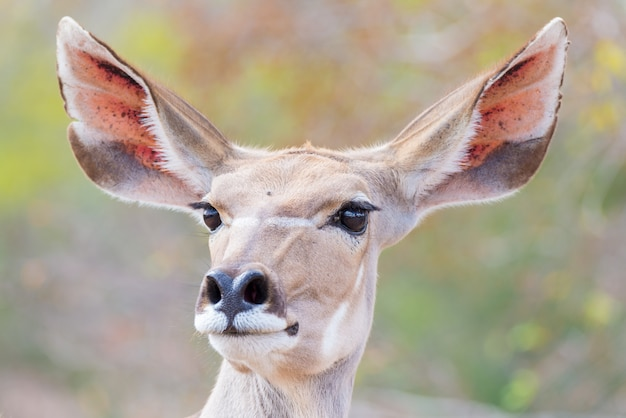 Retrato de cabeça feminina kudu elegante bonito