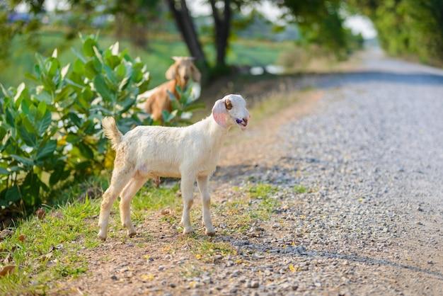 Retrato de cabra de bebê na estrada