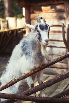 Retrato de cabra doméstica na fazenda, superfície de madeira