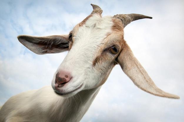 Retrato de cabra em um fundo de céu nublado e seu vislumbre com dúvida