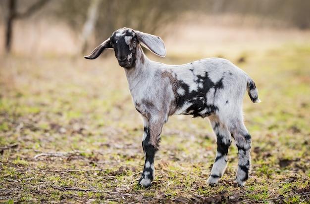 Retrato de cabra ou cabrito pequeno sul africano boer na natureza ao ar livre