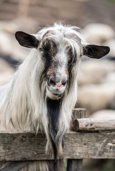 Retrato de cabra. profundidade superficial de campo.