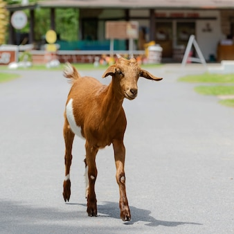 Retrato de cabra.