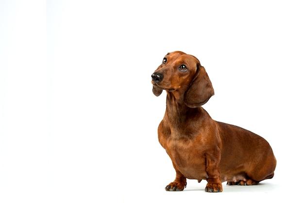 Retrato de cachorro bassê vermelho isolado no fundo branco