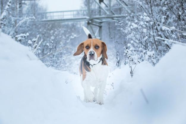 Retrato de cachorro beagle americano sorridente e feliz correndo