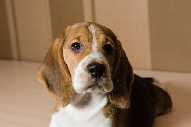 Retrato de cachorro beagle sério e bonito