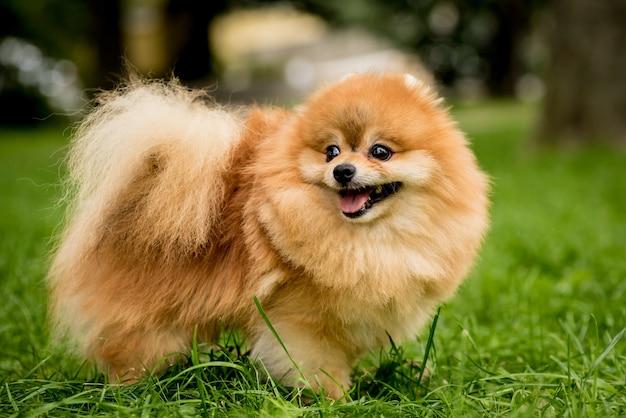 Retrato de cachorro bonito da pomerânia no parque.
