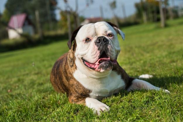 Retrato de cachorro bulldog americano com casaco tigrado do lado de fora