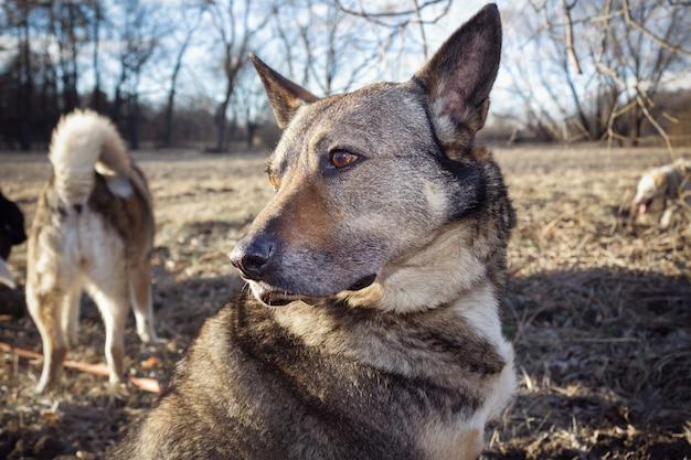 Retrato de cachorro cinza ao ar livre. outros cães ao fundo.