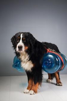 Retrato de cachorro-da-montanha bernese parado no estúdio na cinza e olhando para a câmera