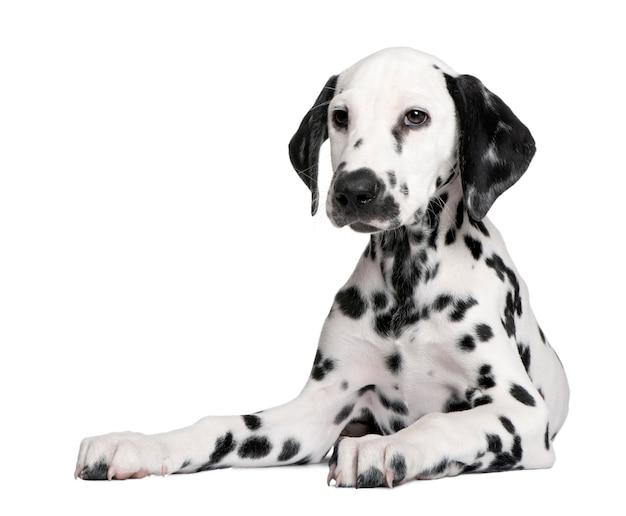 Retrato de cachorro dálmata bonito isolado