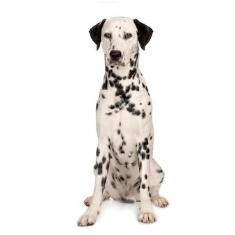 Retrato de cachorro dálmata isolado