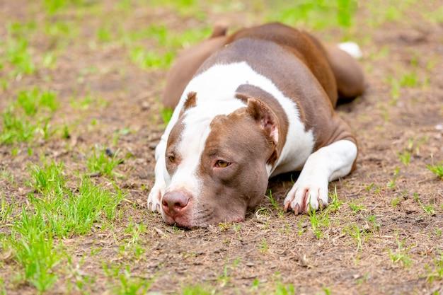 Retrato de cachorro deitado no chão de cascalho. concentre-se em seus olhos tristes, parecendo triste.