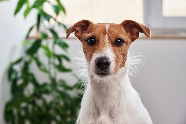 Retrato de cachorro em casa. jack russell terrier sentado perto de uma planta e olhando para a câmera