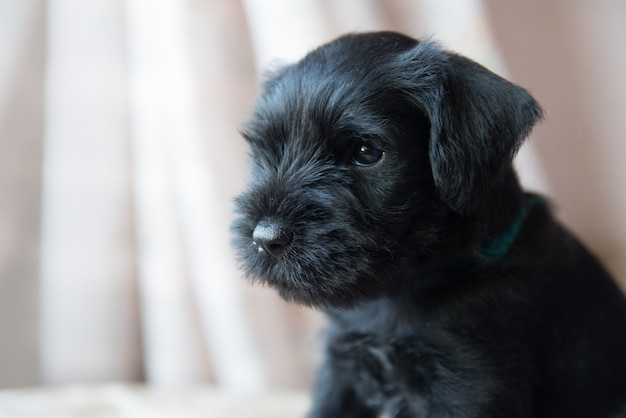 Retrato de cachorro filhote de cachorro schnauzer miniatura