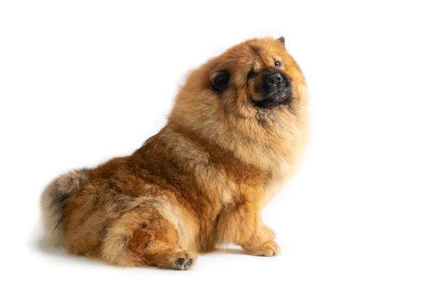 Retrato de cachorro fofo chow chow sentado no chão, isolado no branco