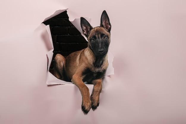 Retrato de cachorro fofo da raça malinois sai de um buraco na parede de papel. espaço livre para texto.