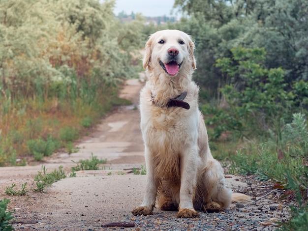 Retrato de cachorro golden retriever