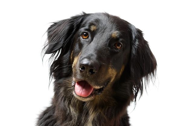 Retrato de cachorro hovawart. foto de close-up de um cachorro hovawart preto, isolado