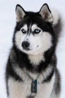 Retrato de cachorro husky, fundo de inverno nevado. animal de estimação engraçado em andar antes do treinamento do cão de trenó.