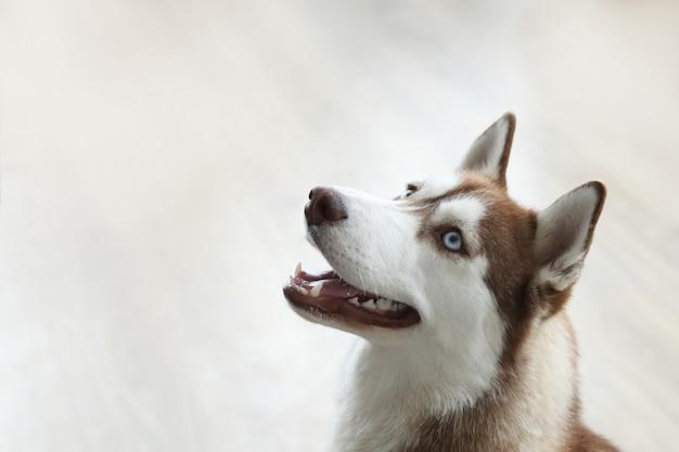 Retrato de cachorro husky