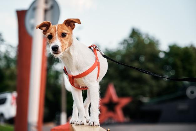 Retrato de cachorro. jack russel terrier caminhando ao ar livre