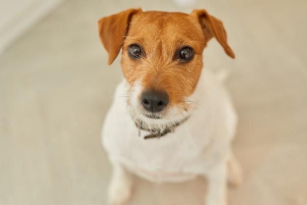 Retrato de cachorro jack russel terrier sentado no chão em casa