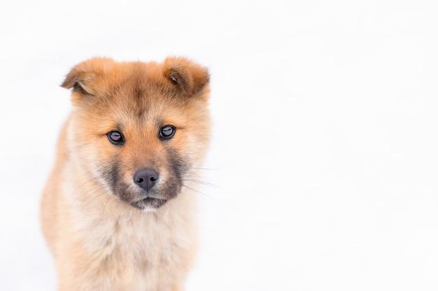 Retrato de cachorro japonês akita inu em fundo branco com olhar sério