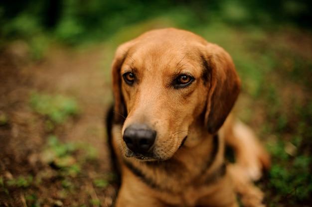 Retrato de cachorro marrom deitado em uma floresta