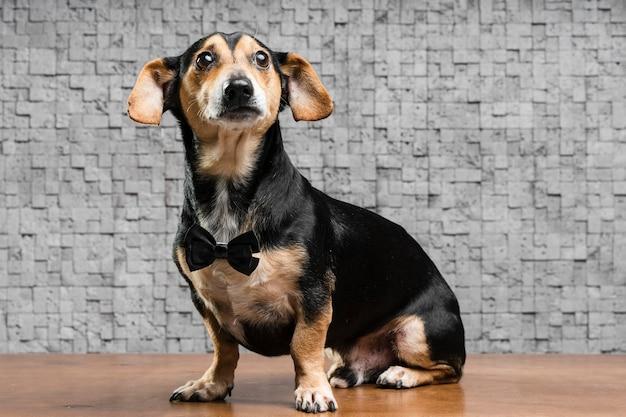 Retrato de cachorro pequeno bonito com gravata borboleta