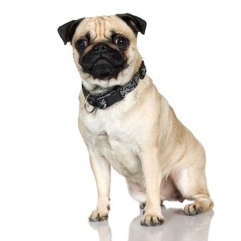 Retrato de cachorro pug isolado