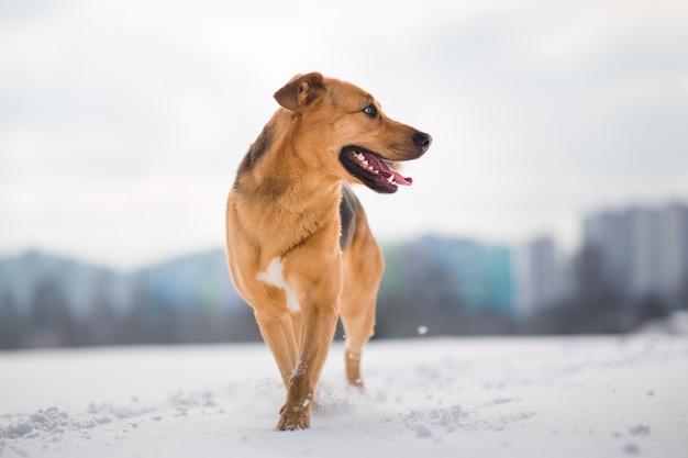Retrato de cachorro ruivo lindo em um prado caminhando e olhando para o lado