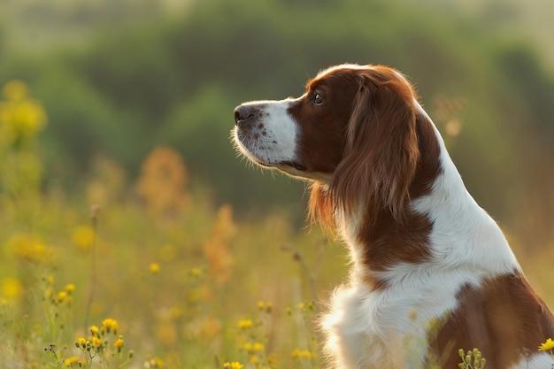 Retrato de cachorro, setter vermelho e branco irlandês em fundo dourado do sol, ao ar livre, horizontal