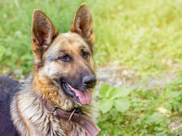 Retrato de cachorro um close de raça pastor alemão em fundo de grama em campo